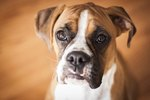 Dog Breeds Susceptible to Bloat