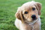 Dysautonomia in Dogs