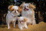 Facts About Japanese Chin Dogs