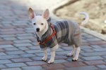 Getting Your Dog to Wear a Coat or Sweater