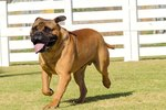 Good Acitivies for Bullmastiffs