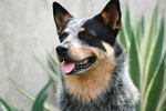 History of Queensland Heeler Dogs