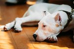 How Active Are Dogo Argentino Dogs?