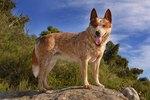 How Big Do Red Heeler Dogs Get?