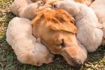 How Do Mother Dogs Show Affection to Puppies?