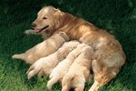 How to Assist a Mother Dog That's Giving Birth
