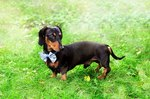 How to Make a Jacket for a Miniature Dachshund