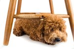 How to Prevent a Dog From Chewing Chair Legs