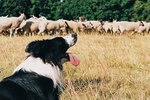 How to Stop Your Dog From Herding People