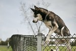 How to Stop a Dog From Climbing A Fence or Gate