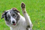 How to Teach A Dog to Wave