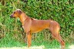 Interesting Facts About Rhodesian Ridgebacks