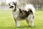 Inuit Dog Breeds