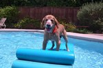 Is It Dangerous for Dogs to Drink Pool Water?