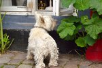 Is Ivy Toxic To Dogs?