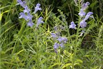 Is Skullcap Toxic To Dogs?