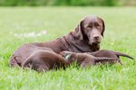 Lactation in Dogs