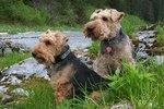 Lakeland Terriers vs. Welsh Terriers