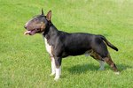 Miniature Bull Terrier Care Guide