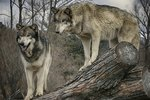 Pack Behaviors of Wolves vs. Dogs