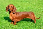 Personality Traits of Dachshunds
