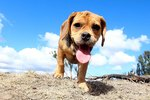 Puggle Puppy Information