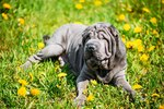 Behavior Characteristics of Shar-Peis