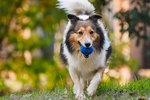 Shelties vs. Collies