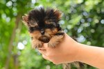 Should I Get A Teacup Puppy For My Kids?