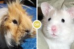 Should I Get a Hamster or a Guinea Pig?