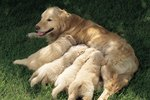 Should I Give Milk to a Dog Nursing Puppies?