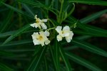 Signs & Symptoms of Oleander Poisoning in Dogs