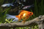 Signs a Goldfish is Happy