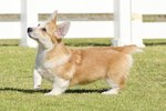 Types of Dogs With Short Legs