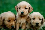 What Affects Birth Weight in Puppies?