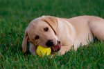 What Are the Side Effects of Puppy Teething?