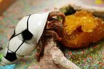 What Do Hermit Crabs Eat?