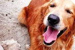 Why Do Dogs Howl?