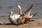 Why Do Dogs Roll Around in Smelly Things?