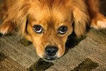Why Do Dogs Rub Their Faces On Carpet?