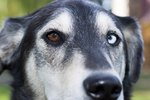 Why Do Some Dogs Have Different-Colored Eyes?