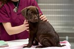 Hypocalcemia in Puppies