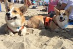 Southern California Corgi Beach Day Fall 2015