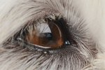 Do Cataracts in a Dog Hurt?