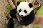 Baby Pandas Fight With Everything And It's All Adorable