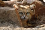 Adorable Rare Sand Cat Photographed for the 1st Time in a Decade