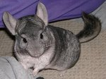 How to Make a Chinchilla Cage