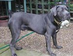 How to Identify a Cane Corso Dog