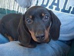 How to Rescue a Miniature Dachshund