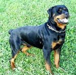 How to Identify a Rottweiler
